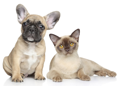PUG-AND-SIAMESE